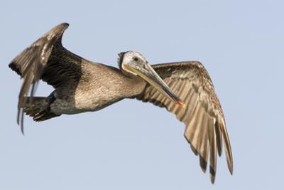 A Brown Pelican in a Southern California Coastal Wetland by Neil Losin