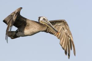 A Brown Pelican in a Southern California Coastal Wetland by Neil Losin