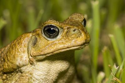 A Cane Toad in South Florida by Neil Losin