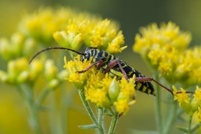 A Colorful Beetle Perched on Yellow Flowers in Virginia by Neil Losin