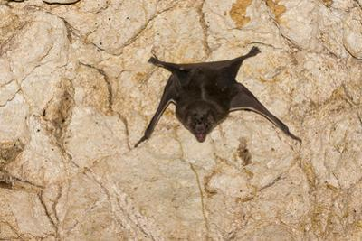 A Common Vampire Bat in a Cave at Cabo Blanco Absolute Reserve, Costa Rica by Neil Losin