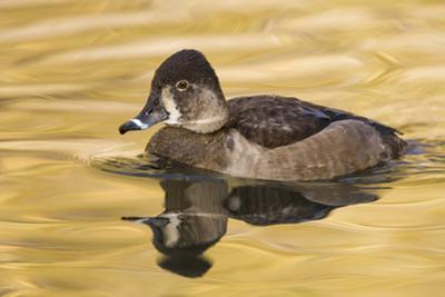 A Female Ring-Necked Duck on a Small Pond in Southern California by Neil Losin