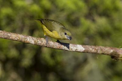 A Female Thick-Billed Euphonia at Las Cruces Biological Station, Costa Rica by Neil Losin