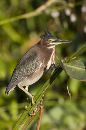 A Green Heron Perches on Marsh Vegetation in a Costa Rican Wetland by Neil Losin