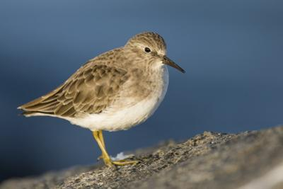 A Least Sandpiper on the Southern California Coast by Neil Losin
