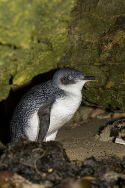 A Little Penguin on Penguin Island in Southwest Australia by Neil Losin