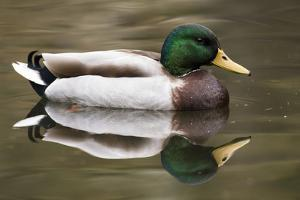 A Male Mallard on a Small Pond in Southern California by Neil Losin