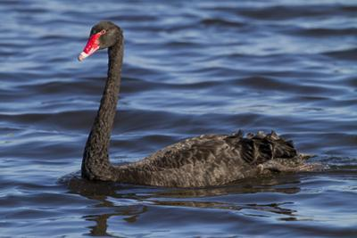 A Pair of Black Swans Swims in a Lake in Western Australia by Neil Losin