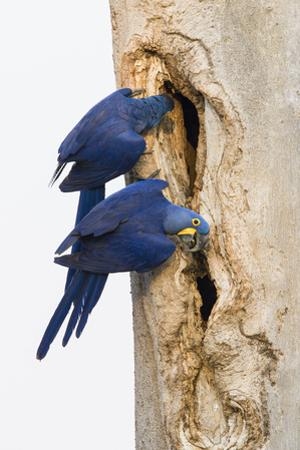 A Pair of Hyacinth Macaws Examines a Tree Cavity in the Pantanal, Brazil by Neil Losin