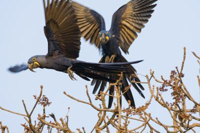 A Pair of Hyacinth Macaws in Flight in the Pantanal, Brazil by Neil Losin