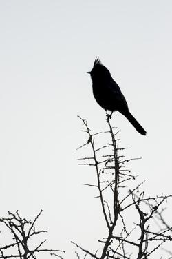 A Phainopepla in Silhouette in the Southern California Desert by Neil Losin