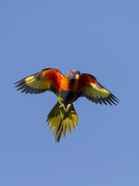 A Rainbow Lorikeet from Northern Australia in Flight in Southwest Australia by Neil Losin