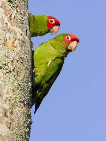 A Red-Masked Parakeet Peers from a Nest Cavity in South Florida. by Neil Losin