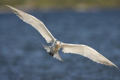 A Royal Tern in Flight in Everglades National Park, Florida by Neil Losin