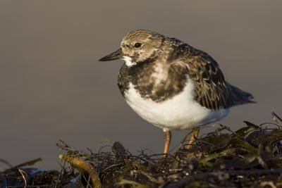 A Ruddy Turnstone (Arenaria Interpres) in its Winter Plumage on the Southern California Coast by Neil Losin
