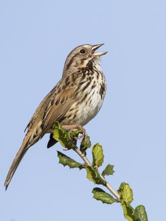 A Song Sparrow Singing in Southern California by Neil Losin