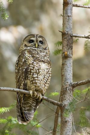 A Spotted Owl in Los Angeles County, California by Neil Losin