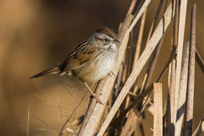 A Swamp Sparrow in a Virginia Wetland by Neil Losin