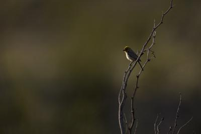 A Verdin (Auriparus Flaviceps) in the Southern California Desert by Neil Losin