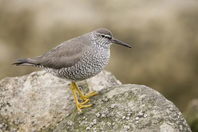 A Wandering Tattler on the Southern California Coast by Neil Losin