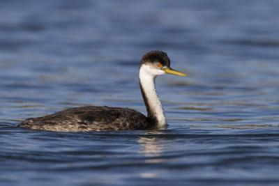A Western Grebe in its Winter Plumage in Southern California by Neil Losin