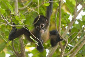 A Young Female Geoffroyõs Spider Monkey in Corcovado National Park, Costa Rica by Neil Losin