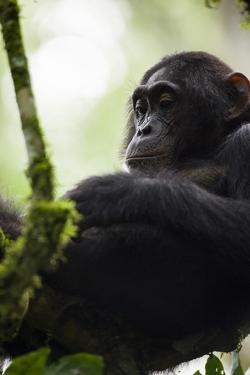 A Young Male Chimpanzee in Kibale National Park, Uganda by Neil Losin