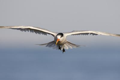 An Elegant Tern Flies over the Southern California Coast by Neil Losin