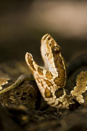 Closeup of a Water Moccasin in a Defensive Display in Big Cypress National Preserve, Florida by Neil Losin