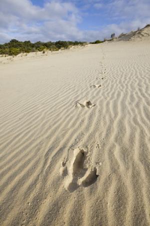 Emu Footprints at the Yeagarup Dunes, Southwest Australia by Neil Losin