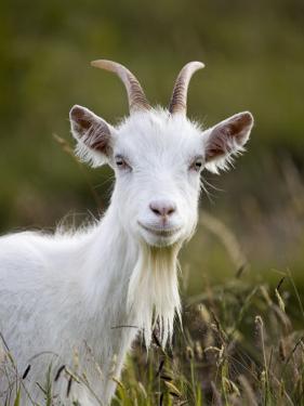 Goat on Great Orme by Neil Setchfield