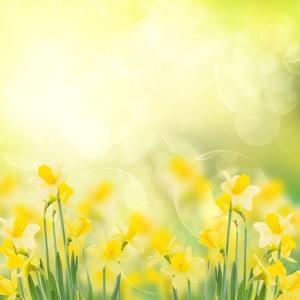 Spring Growing Daffodils in Garden by neirfy