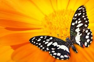 Butterfly Sleeping On An Orange Flower by NejroN Photo