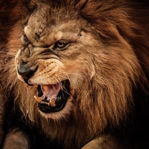 Close-Up Shot of Roaring Lion by NejroN Photo