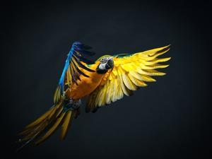 Colourful Flying Ara On A Dark Background by NejroN Photo