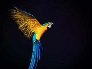 Flying Ara On A Dark Background by NejroN Photo