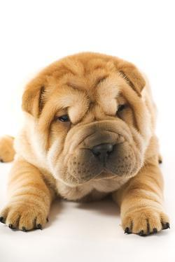 Funny Sharpei Puppy Isolated On White Background by NejroN Photo