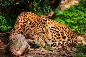 Gorgeous Leopard in Natural Habitat by NejroN Photo