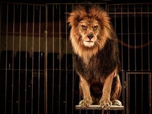 Lion in Circus Cage by NejroN Photo