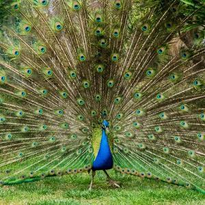 Peacock With Beautiful Feathers Outdoors by NejroN Photo