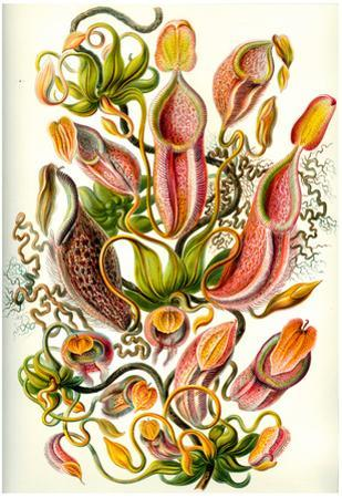 Nepenthaceae Nature Art Print Poster by Ernst Haeckel