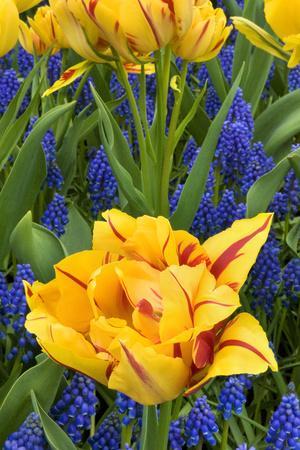 https://imgc.allpostersimages.com/img/posters/netherlands-lisse-tulips-and-grape-hyacinth-at-keukenhof-gardens_u-L-PU3DS90.jpg?p=0