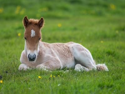 https://imgc.allpostersimages.com/img/posters/new-born-foal-iceland_u-L-PZSAGN0.jpg?p=0