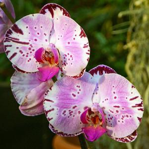 New Orchid Phalaenopsis 'Diamond Sky' on Display at the Kew Orchid Festival, Kew Gardens, London