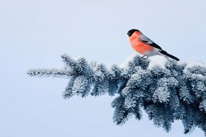 New Year Postcard Bird Bullfinch on a Branch of a Festive Spruce with Shiny Hoarfrost Sits in a Bea
