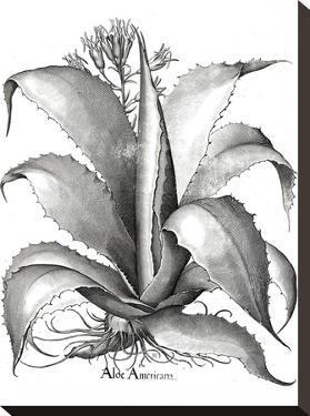 Besler 10 by New York Botanical Garden