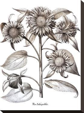 Besler 12 by New York Botanical Garden