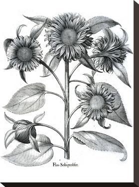 Besler 4 by New York Botanical Garden