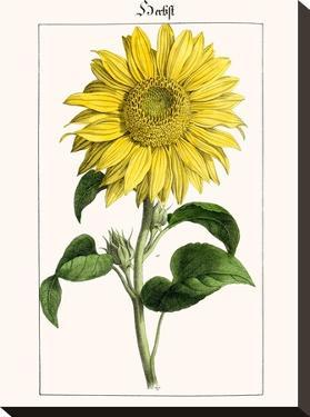 Sonnenblume by New York Botanical Garden