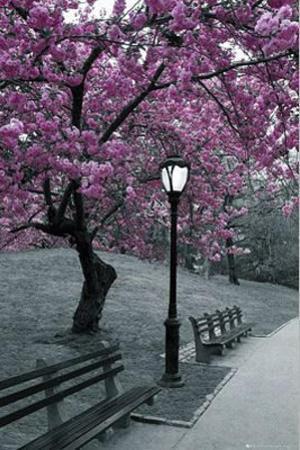 New York Central Park Blossom Photograph Poster